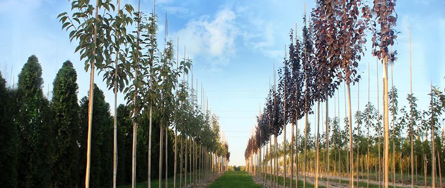 Виробництво алейних дерев для озеленненя